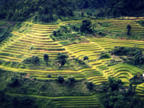 Vietnam Rice Industry Faces Challenges